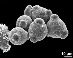 hydrated pollen grains with germinating grain (top left)