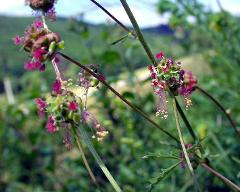 flowers of Sanguisorba minor