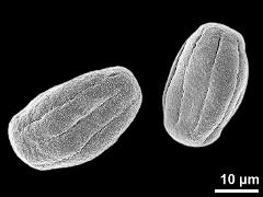 dry pollen grains (equatorial view)
