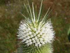 flowers of Dipsacus laciniatus