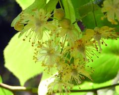 flowers of Tilia euchlora