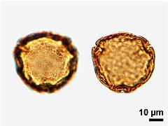acetolyzed pollen,polar view