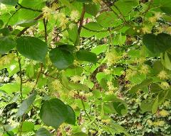habitus of Tilia euchlora