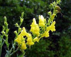 flowers of Linaria genistifolia