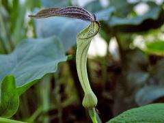 flower of Aristolochia rotunda