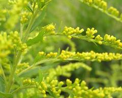 flowers of Solidago canadensis