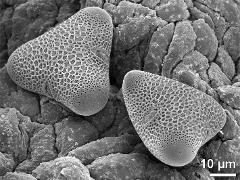 hydrated pollen on loculus wall