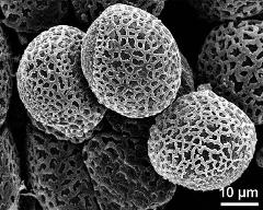 hydrated pollen grains