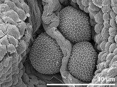 hydrated pollen in loculus