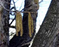 male flowers of Corylus colurna